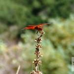 red dgragonfly