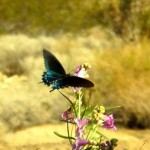 butterfly on desert willow
